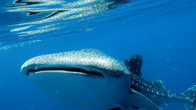 Utrotningshotade arter pelagiskt Valhaj (Rhincodon typer) simning med Cobia (Rachycentron canadum) och människor.  En perfekt demonstration av primal instinktiva djurbeteende. Ett symbiotiskt förhållande som garanterar sin framgång och överlevnad som art.