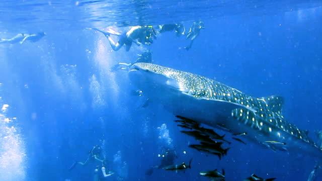 Vom Aussterben bedrohte Arten pelagischen Walhai (Rhincodon Typen) schwimmen mit Cobia (Rachycentron Canadum) und Menschen.  Eine perfekte Demonstration der ur instinktive Verhalten der Tiere. Eine symbiotische Beziehung, die ihren Erfolg und das Überleben als Art gewährleistet.