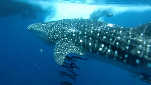 Vom Aussterben bedrohte Arten pelagischen Walhai (Rhincodon Typen) schwimmen mit Cobia (Rachycentron Canadum) und Menschen.  Eine symbiotische Beziehung, die ihren Erfolg und das Überleben als Art gewährleistet.
