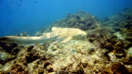 Endangered Species Zebra Leopard Shark (Stegostoma fasciatum) swimming