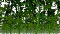 Endless Marijuana Plants low angle
