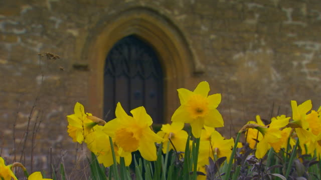 EnglandClose Up of Daffodils