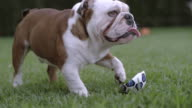 SLO MO English Bulldog (Canis lupus familiaris) plays with deflated football in garden, Spain