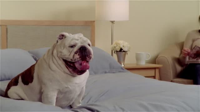 CU, ZO, MS, English bulldog sitting in bed, woman in armchair reading magazine