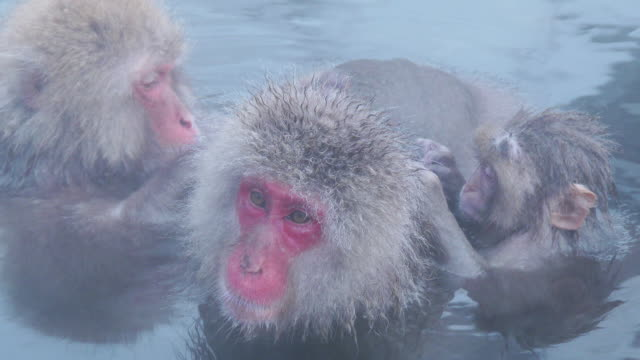 SNOW MONKEY enjoy hot spring