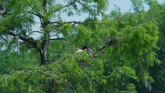 Epische 4 k-Schlangenhalsvogel Fütterung Baby im nest. Zypresse-Sumpf, South Carolina, USA
