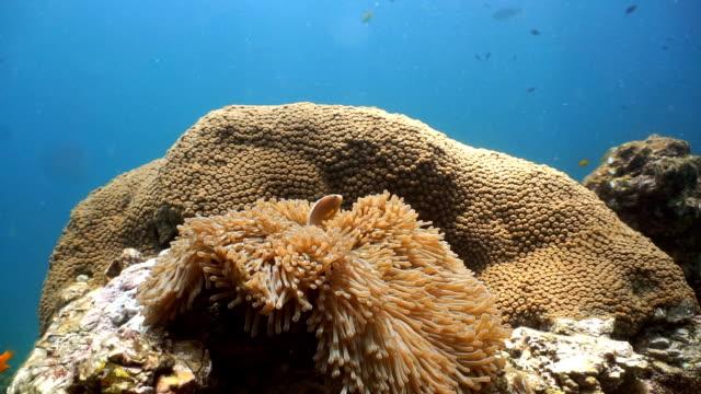 Epic Nature Underwater: Magnificent Anemone (Heteractis magnifica) with Skunk Anemonefish (Amphiprion ephippium) Clownfish.