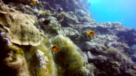 Epic Nature Underwater:  Rare Tomato Anemone Clownfish (Amphiprion ephippium).