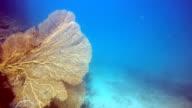 Epic Nature Underwater: Red Gorgonian Sea Fan Coral (Semperina).