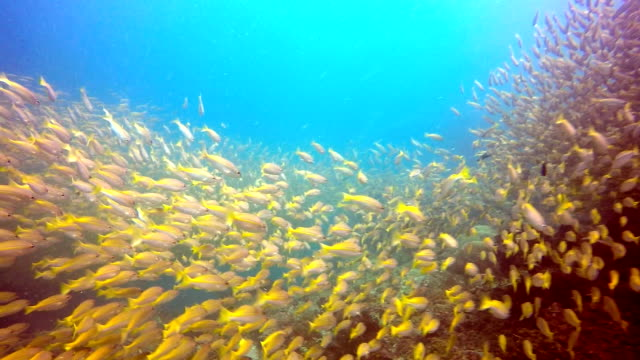 Epic Nature Underwater: Shoal of Two Spot Snapper (Lutjanus biguttatus) and Bigeye Snapper (Lujanus lutjanus) Fish.