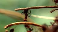 Equilibrist Ant