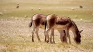 equus kiang (Tibeten Wild Ass) at Hoh Xil Nature Reserve