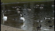 Essex Wanstead Flats EXT Park keeper along to pick up dead pigeon from next to Alexandra Lake General views and close shots of water birds including...
