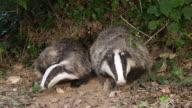 MS European Badger, meles meles pair standing at den entrance / Calvados, Normandy, France