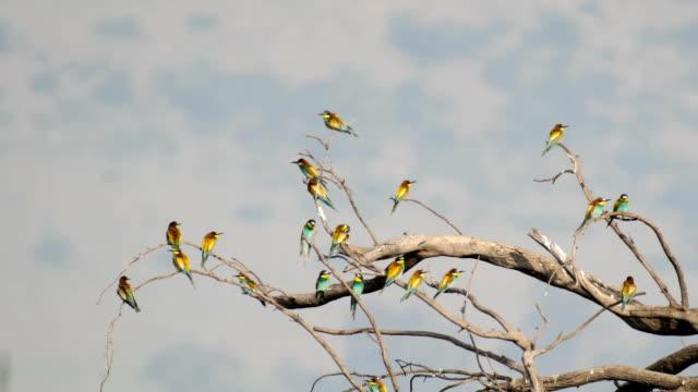 European bee-eater (Merops apiaster), flock  perching-resting on a dead tree