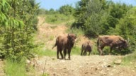 18 European bison an endangered species were released on Friday in the Romanian Carpathians