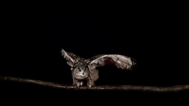 MS SLO MO European Eagle Owl (bubo bubo) Flapping Wings / Vieux Pont en Auge, Normandy, France