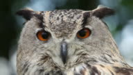CU European eagle owl looking around / Vieux Pont, Normandy,  France