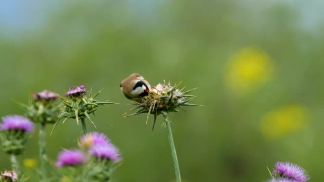 European Goldfinch  (Carduelis carduelis) feeding on oriental plane seeds