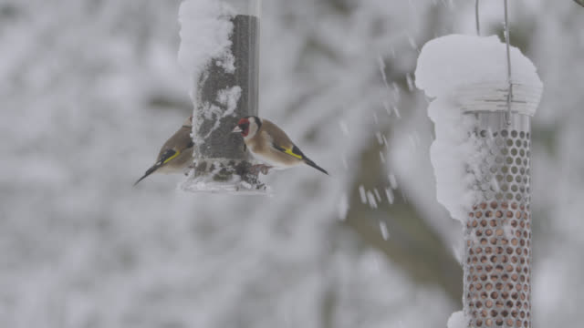 European goldfinches (Carduelis carduelis) feed from bird feeder as snow falls, Oxfordshire, England