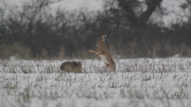 European hares (Lepus europaeus) chase and box on snow, Essex, England