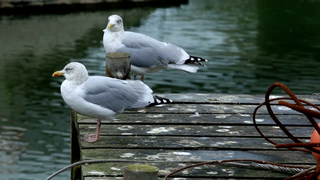 European herring gull , (Larus argentatus),  Normandy, France