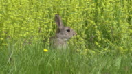 European Rabbit or Wild Rabbit, oryctolagus cuniculus, Adult standing on Grass, Normandy, Real Time