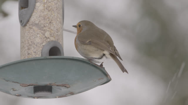European robin (Erithacus rubecula) feeds from bird feeder as snow falls, Oxfordshire, England