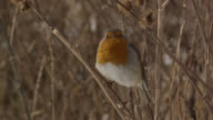 European robin (Erithacus rubecula) takes off from branch, Essex, England