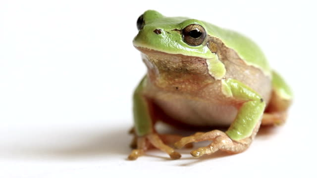 European Tree Frog Jumping Away from Screen