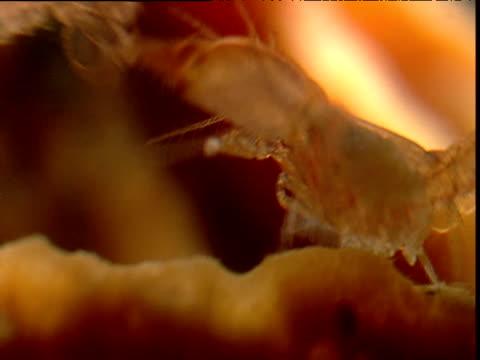 Eusocial shrimps fighting in sponge, Belize