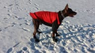 Even though it is 30 degrees Celsius outside this doberman just cannot stand having to wear a warm jacket and booties Watch him attempt to tear off...