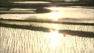 Evening scene of rice paddies