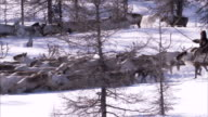 Evenki people herd reindeer though a snowy forest. Available in HD