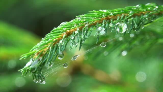 Immergrüner Baum mit Regentropfen
