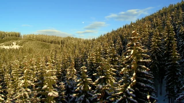 Evergreen Trees At Sunset