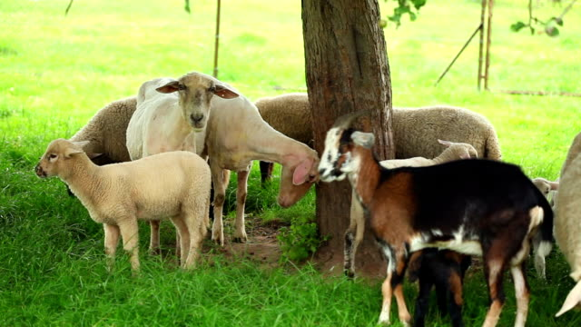 Ewes, Lambs and goats