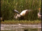 Excited male crowned crane jumps and flaps in courtship display in front of others in swamp, Africa