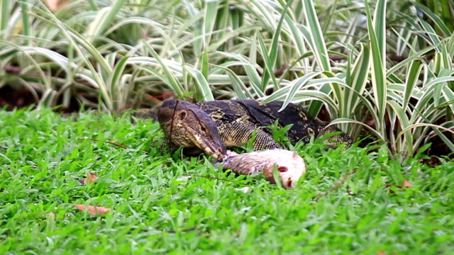 Exotic Animal Thailand. Monitor Lizard Eating fish. Southeast Asia