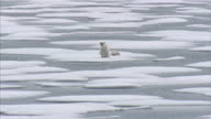 Exterior aerial shots of polar bear and her two cubs onmelting iceberg before swimming off into the sea Polar Bear Family Stranded on Melting Ice Cap...