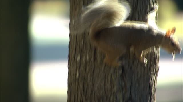 Exterior close up shots of grey squirrels feeding on nuts from road side trees on November 4 2014 in Raleigh North Carolina United States