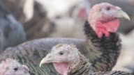 Exterior close up shots of Heritage turkeys at Good Shepherd Poultry Ranch in Lindsborg Kansas in autumn on 111714 Close on a turkey next to a fence...