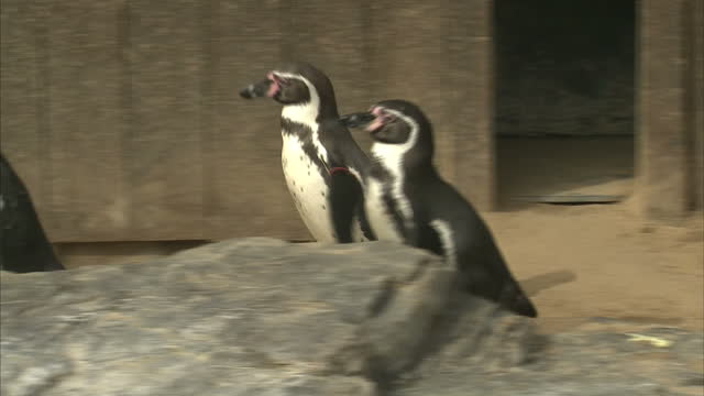 Exterior close up shots of Humboldt penguins in their enclosure at the Sea Life Centre on April 03 2014 in London England