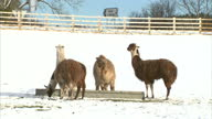exterior shots Bactrian Camels in the snow / exterior shots group of alpacas grazing and eating from feed trough in snow