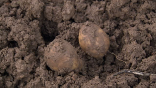Exterior shots farmer harvesting digging up potatoes from earth dirt Potato crop down 24% nationwide with wholesale price rising by 176% according to...