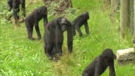 Exterior shots of a congress of chimpanzees at Virunga National Park headquarters on February 18 2012 in Rumangabo The Democratic Republic of Congo