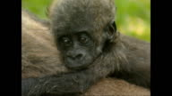 Exterior shots of a family of gorillas including a baby on the Loango National Park on November 17 2003 in Libreville Gabon