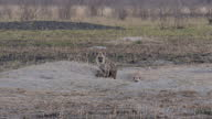 Exterior shots of a family of hyenas around their den on the Hwange National Park on August 07 2015 in Hwange Zimbabwe