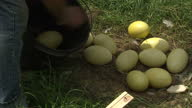 Exterior shots of a farmer collecting eggs from a male Rhea sitting on a nest in a field putting the eggs into a bucket but leaving some behind for...