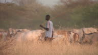 Exterior shots of a farmer walking with his cattle of cows through farmland in Southern Sudan The cattle graze on dried out grass Farmer Cattle on...